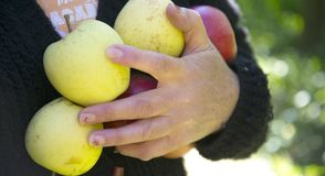 Ripe apples in a woman hand Stock Image