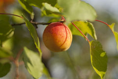 Ripe apricot. A single ripe apricot on branch stock photography
