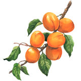 Ripe apricot branch with leaves, isolated, watercolor illustration on white background. Ripe bunch of apricots on branch with leaves, isolated, watercolor Stock Photo