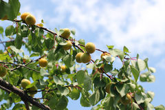 Ripe Apricot Fruit. Ripe summer apricots on branches Royalty Free Stock Photos