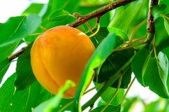 Ripe apricot fruit on branch. Ripe fresh apricot fruit on a branch Stock Image