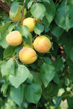 Ripe apricot fruits Stock Photo