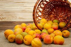 Ripe apricot fruits are scattered from. A wicker basket to a sackcloth and a wooden table royalty free stock images