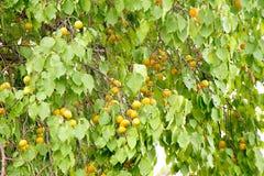 Ripe apricot fruts tree royalty free stock photo