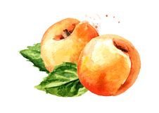 Ripe apricot and green leaves. Watercolor hand drawn illustration, isolated on white background.  stock image
