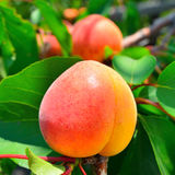 Ripe apricot grows on a branch Royalty Free Stock Photography