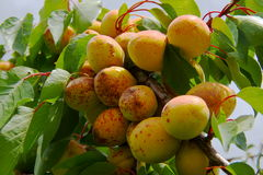 Ripe apricot Royalty Free Stock Photo