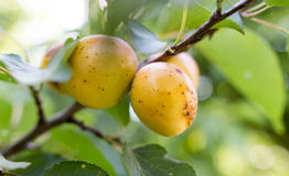 Ripe apricot on a tree branch Stock Images