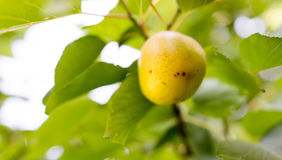 Ripe apricot on a tree branch Royalty Free Stock Photo
