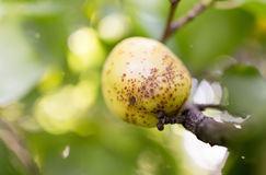 Ripe apricot on a tree branch Royalty Free Stock Photography