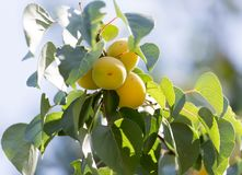 Ripe apricot on tree Stock Photography