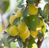 Ripe apricot on tree . Royalty Free Stock Photos