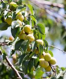 Ripe apricot on tree Royalty Free Stock Photography