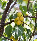 Ripe apricot on tree . Royalty Free Stock Photography
