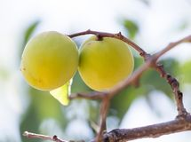 Ripe apricot on tree . Stock Images