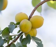 Ripe apricot on tree . Stock Photo
