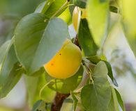Ripe apricot on tree Stock Photo
