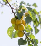 Ripe apricot on tree Stock Image