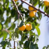 Ripe apricot on tree Stock Images