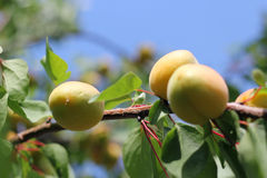 Ripe Apricots. Fresh ripe apricots on tree Royalty Free Stock Images