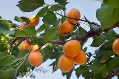 Ripe Apricots Stock Images