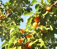 Ripe apricots Stock Photography