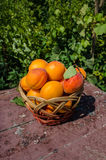 Ripe apricots in  basket Royalty Free Stock Photography