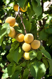 Ripe apricots Royalty Free Stock Photography