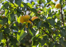 Ripe apricots on the branch Royalty Free Stock Photography