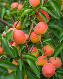 Ripe apricots. On the branch royalty free stock photo
