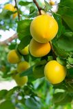 Ripe apricots on a branch close-up stock photo