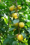 Ripe apricots on a branch close-up stock image