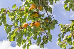 Ripe apricots. Branch with ripe orange apricots Stock Photos