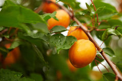 Ripe apricots on the branch Royalty Free Stock Images
