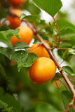 Ripe apricots on the branch Stock Images
