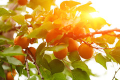 Ripe apricots on the branch Royalty Free Stock Photos