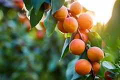 Ripe apricots branch in sunlight stock photography