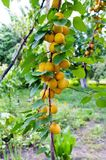 Ripe apricots on the branches. royalty free stock photos