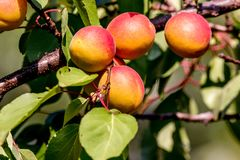 Ripe Apricots Clothed Tree Branch In The Garden Royalty Free Stock Photos