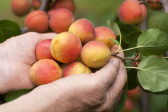 Ripe apricots in female hands Royalty Free Stock Images