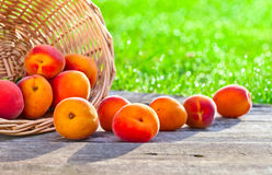 Ripe apricots in garden Stock Photos