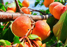 Ripe apricots grow on a branch Royalty Free Stock Image