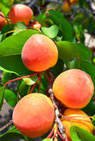 Ripe apricots grow on a branch Royalty Free Stock Images