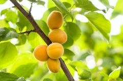 Ripe apricots grow Royalty Free Stock Photography