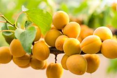 Ripe apricots grow Stock Images
