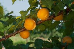 Ripe apricots grow on a branch among green leaves in the garden. Royalty Free Stock Image