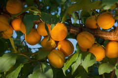 Ripe apricots grow on a branch among green leaves in the garden. Stock Image