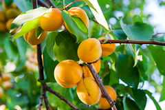 Ripe apricots growing on the apricot tree Royalty Free Stock Photo