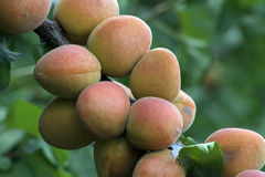 Ripe apricots growing on the apricot tree Royalty Free Stock Images