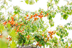 Ripe apricots growing on a branch Royalty Free Stock Images